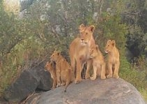 serengeti-mother-lion-with-cubs.