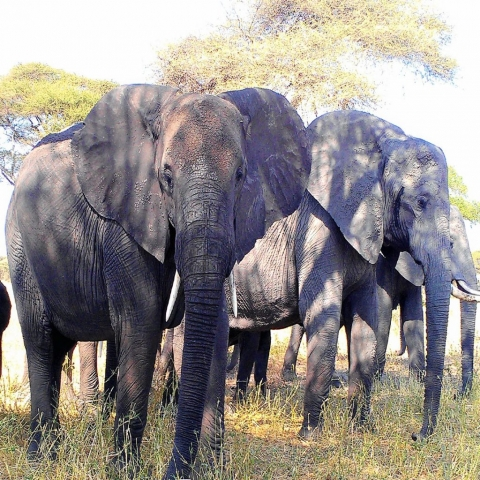 tarangire-elephants