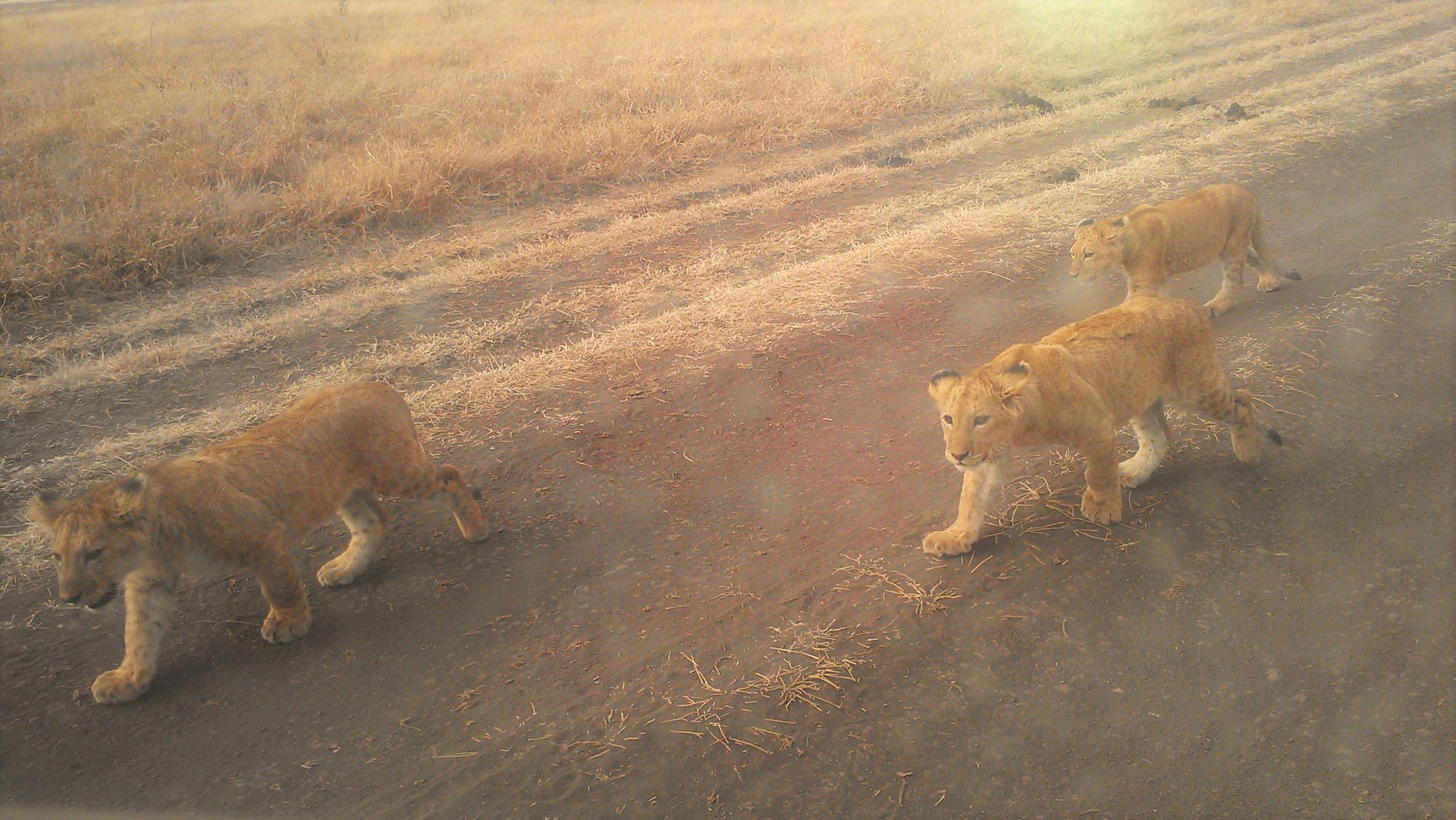Lion cubs at  Ngorongoro Crater