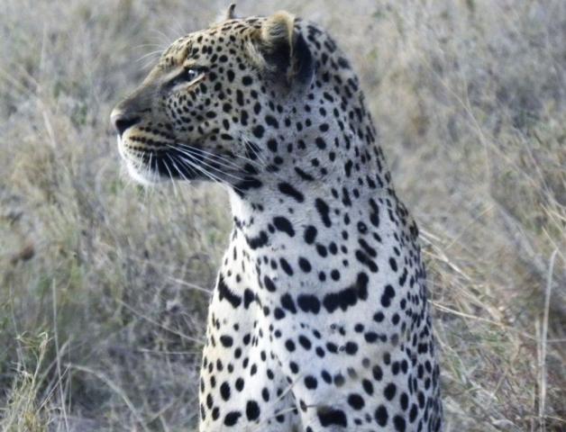 leopard at Serengeti