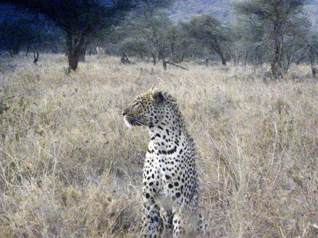 leopard -Serengeti