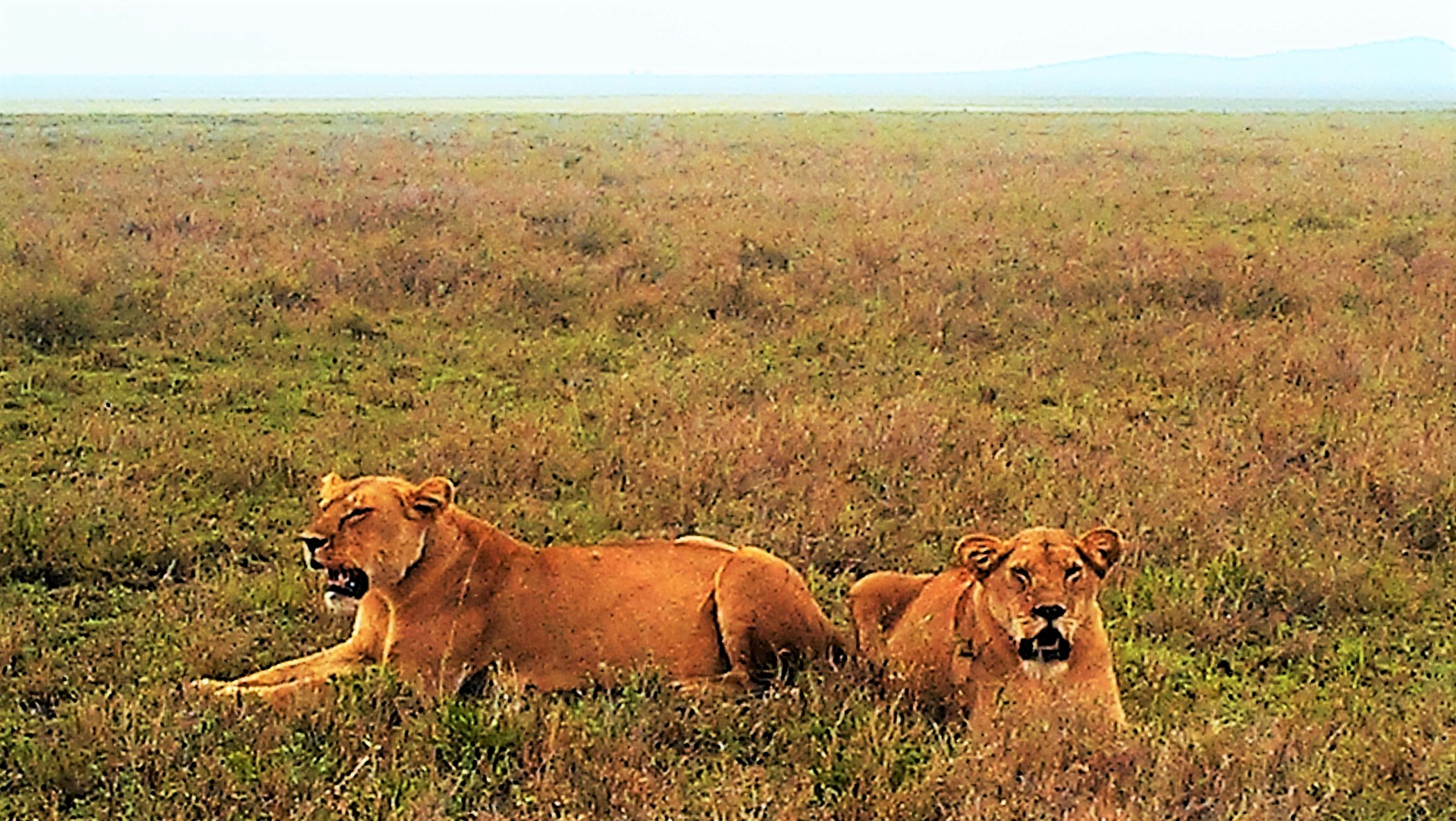 lioness -Serengeti open grassland