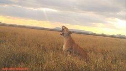 lioness yown in serenget