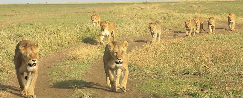 lionesses-Serengeti plain