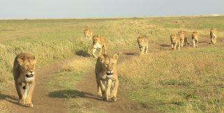 lionesses -Serengeti