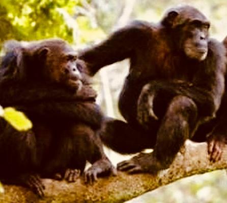 gombe-national-park-chimpanzee-adventure
