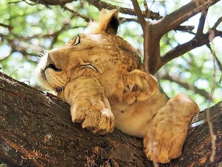 tree-climbing-lion-manyara-park